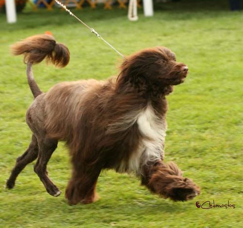 Light brown portuguese water dog - photo#28